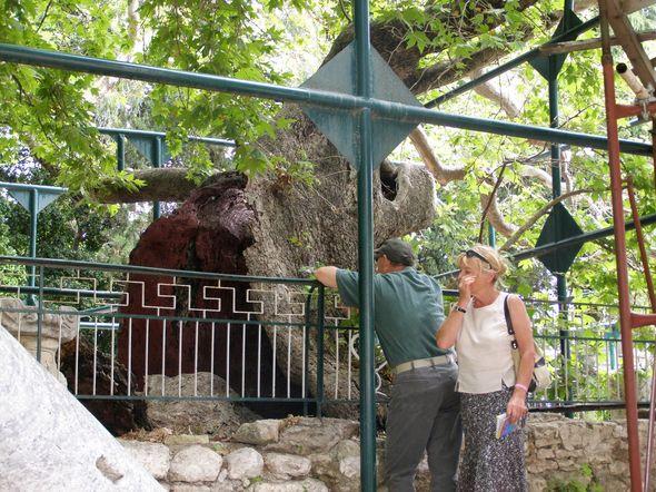 Древо Гиппократа – под ним была его школа