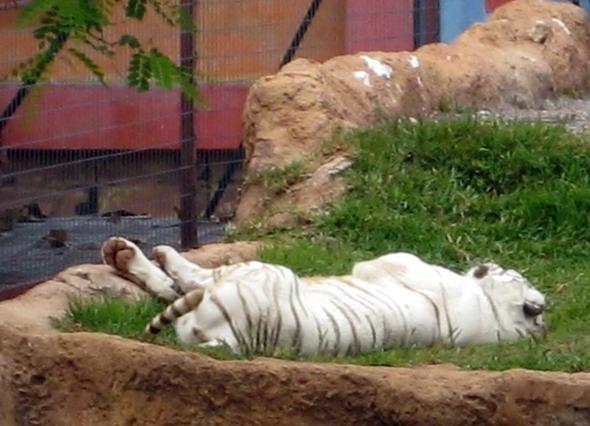 Тенерифе Белый тигр